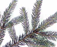 1. Smrk ztepilý ( Picea abies)