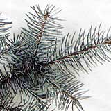 2. Smrk pichlavý stříbrný ( Picea pungens)