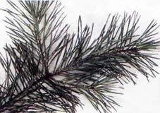3. Borovice lesní, sosna ( Pinus silvestris)