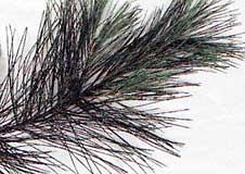 4. Borovice hedvábná, vejmutovka ( Pinus strobus)